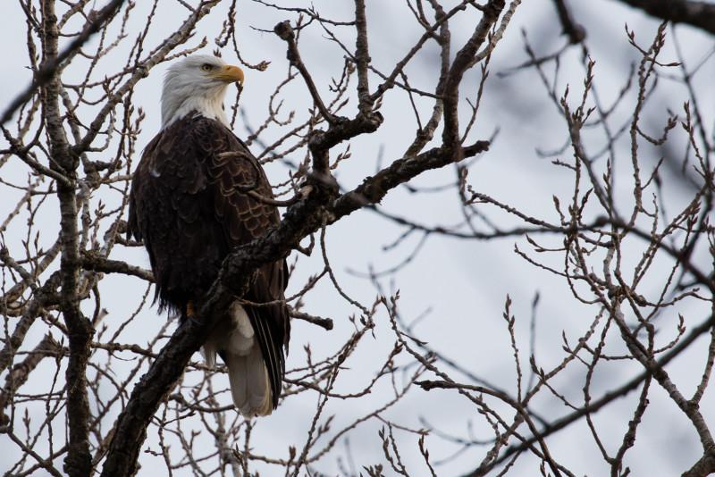 Bald Eagle Goshen